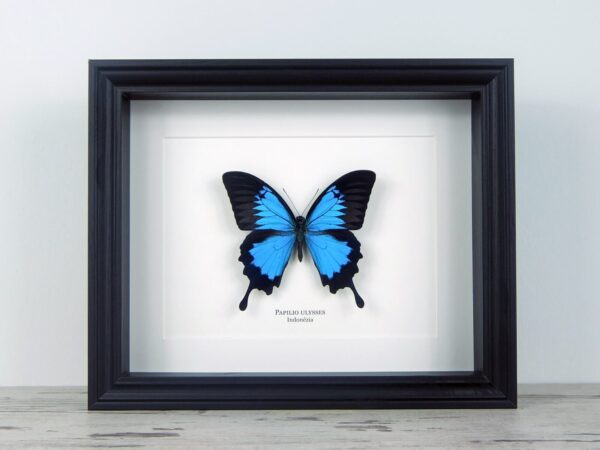 Papilio ulysses, fekete keretben   #2067