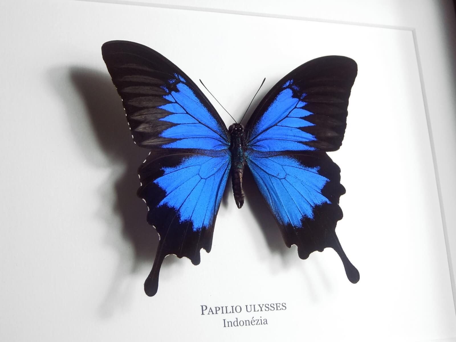 Papilio ulysses, fekete keretben | #2068
