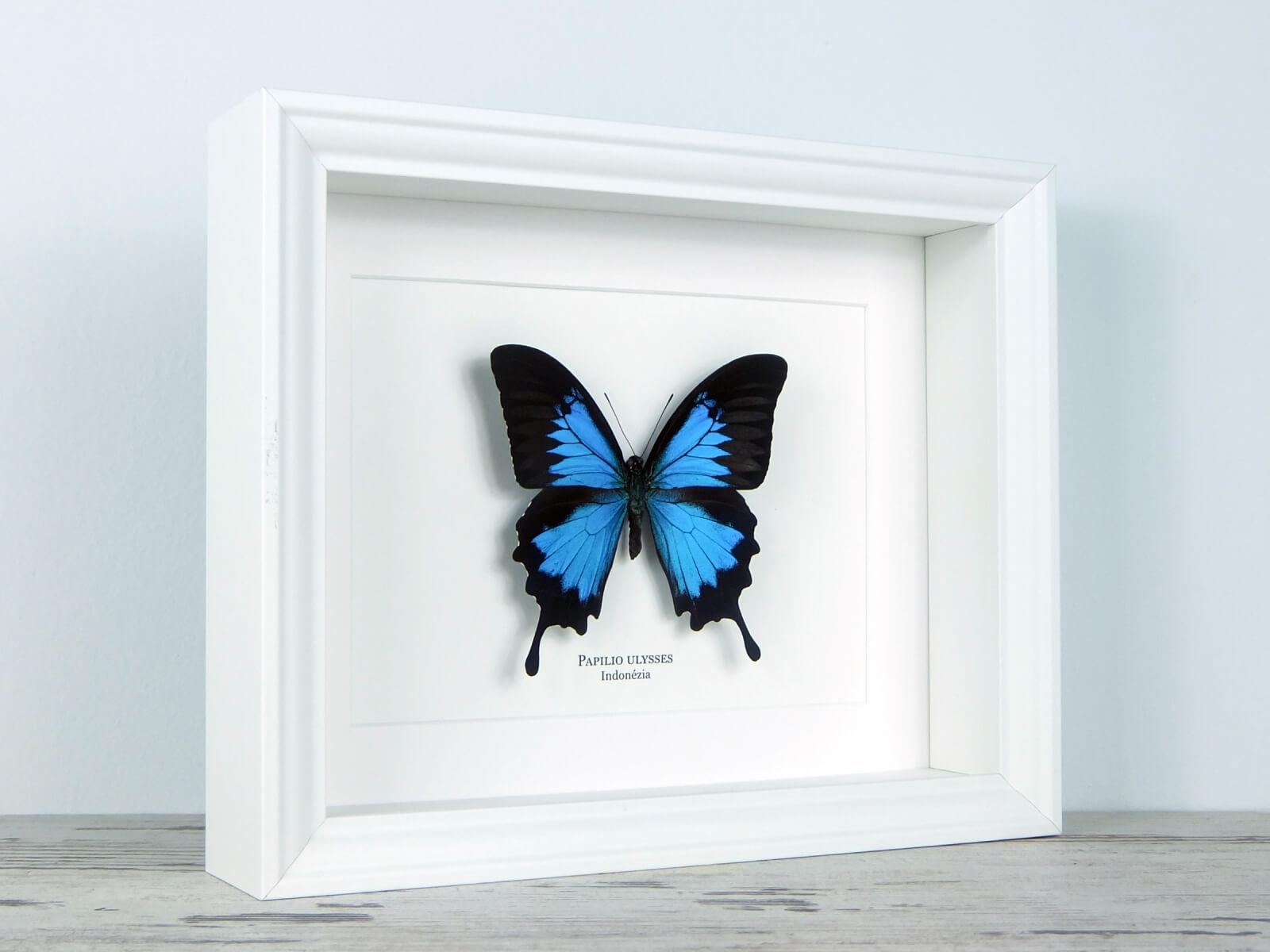 Papilio ulysses, fehér keretben | #2069