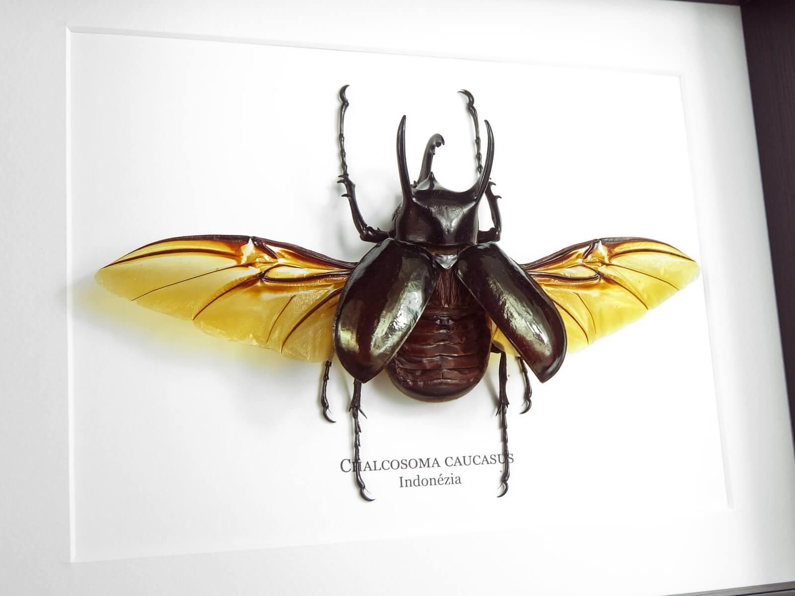 Chalcosoma caucasus, fekete keretben   #2242