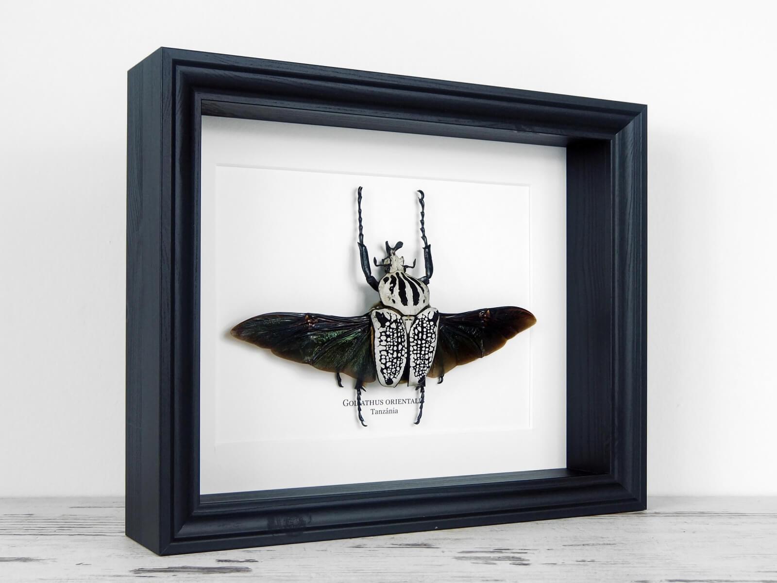 Goliathus orientalis, fekete keretben   #2145