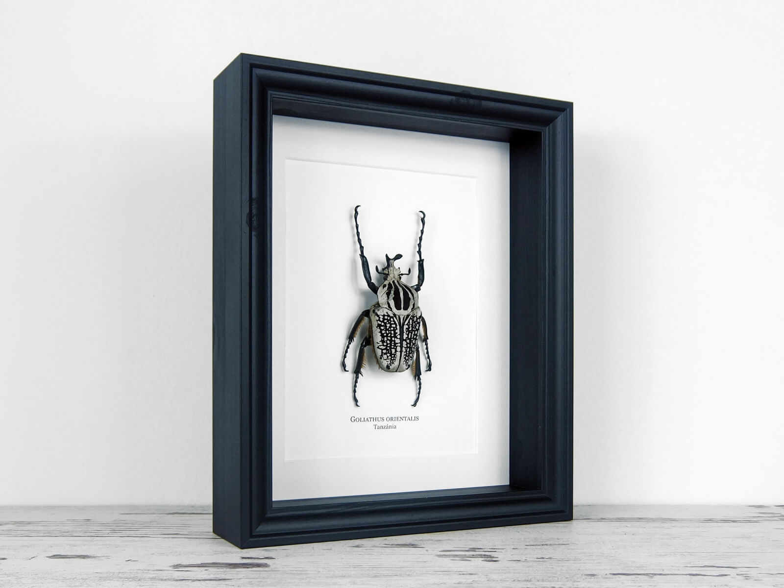 Goliathus orientalis, fekete keretben | #2146