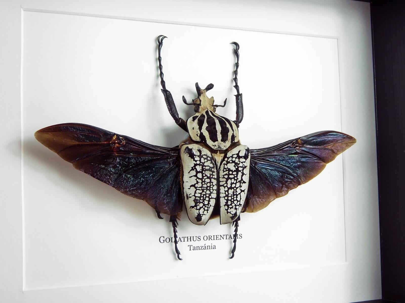 Goliathus orientalis, fekete keretben | #2208