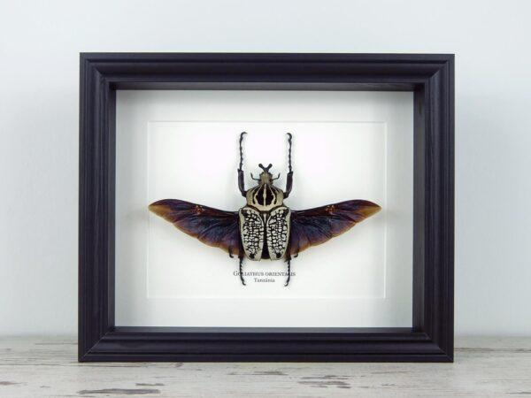 Goliathus orientalis, fekete keretben   #2209