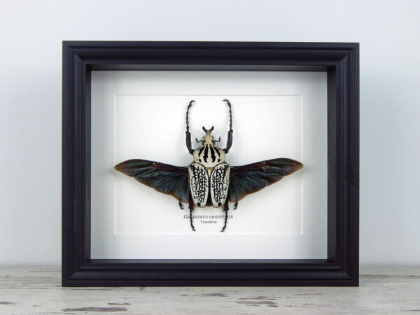 Goliathus orientalis, fekete keretben   #2210