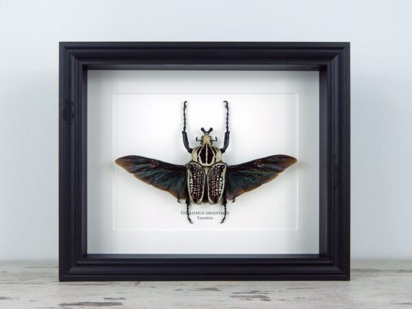 Goliathus orientalis, fekete keretben | #2212