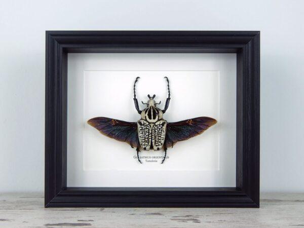 Goliathus orientalis, fekete keretben   #2213