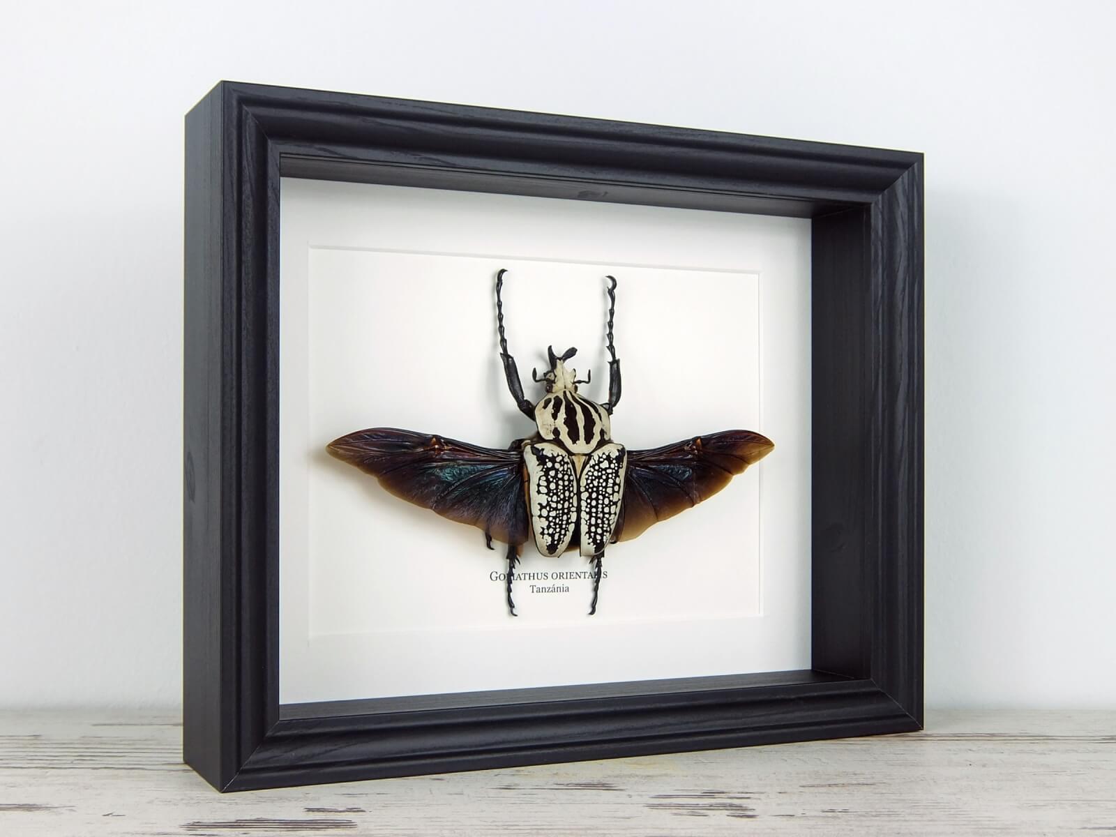 Goliathus orientalis, fekete keretben | #2214