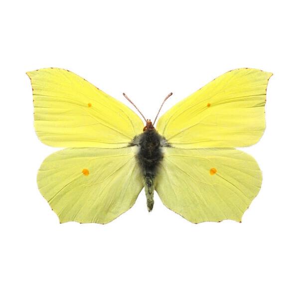 Gonepteryx rhamni - Citromlepke