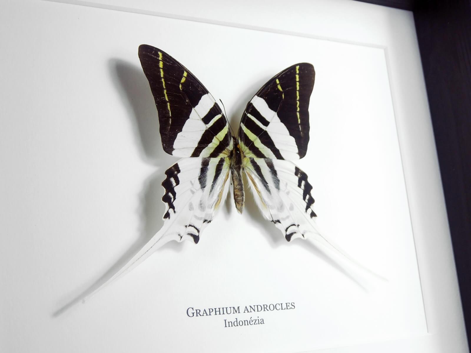 Graphium androcles, fekete keretben   #2136