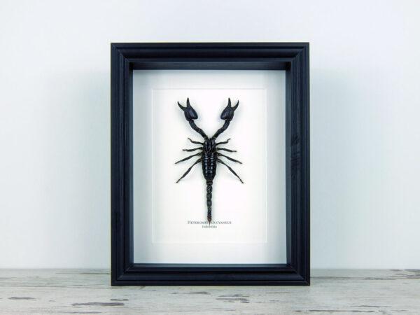 Heterometrus cyaneus, fekete keretben   #2259