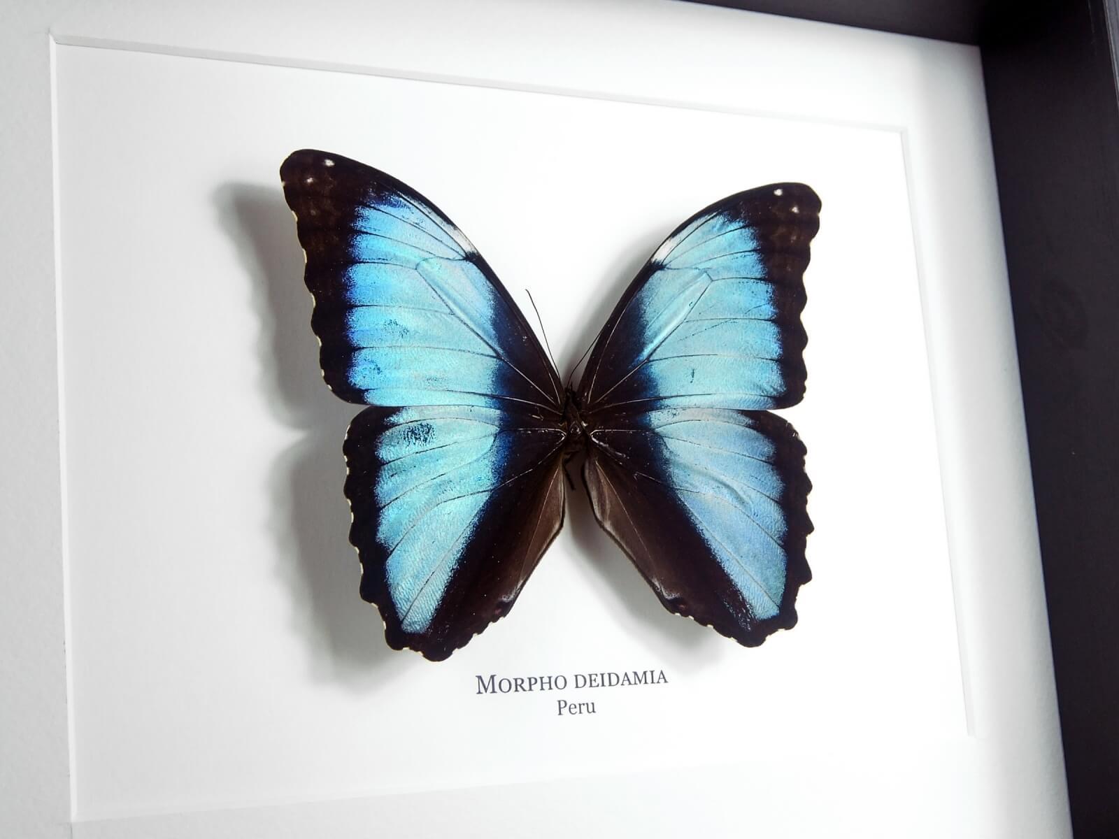 Morpho deidamia, fekete keretben | #2140