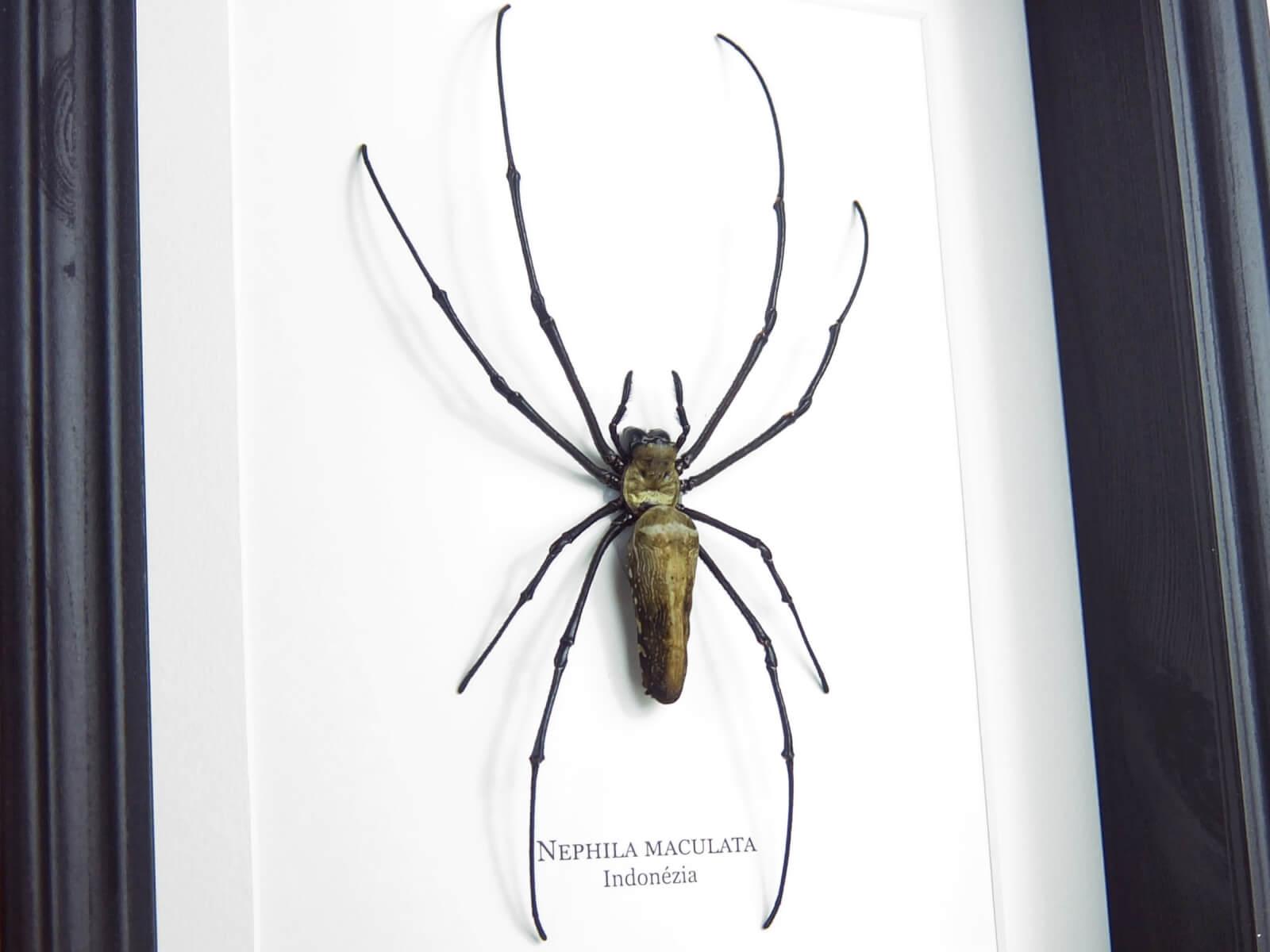 Nephila maculata, fekete keretben | #2263