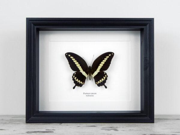 Papilio gigon, fekete keretben | #2139