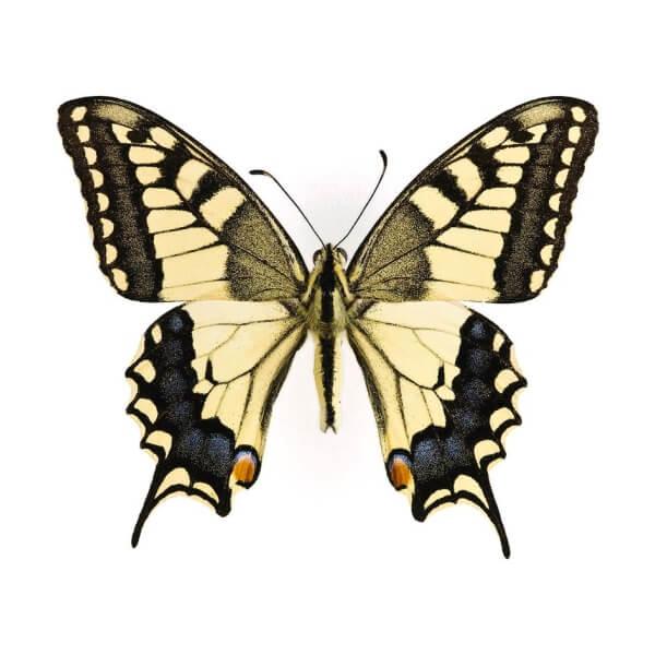 Papilio machaon - Fecskefarkú lepke