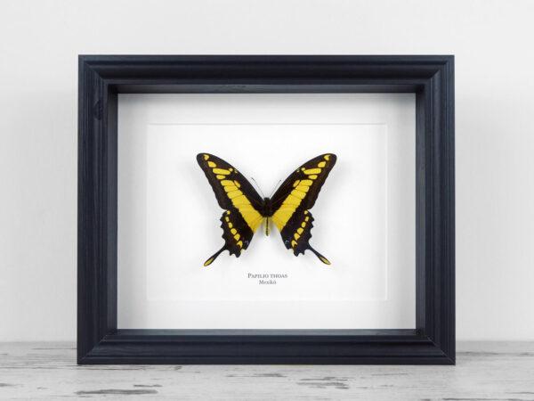 Papilio thoas, fekete keretben | #2141