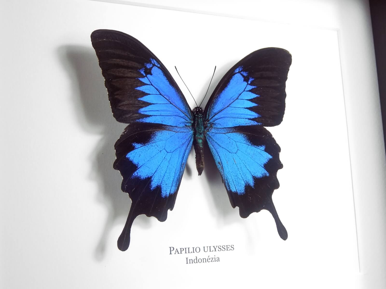 Papilio ulysses, fekete keretben   #2130