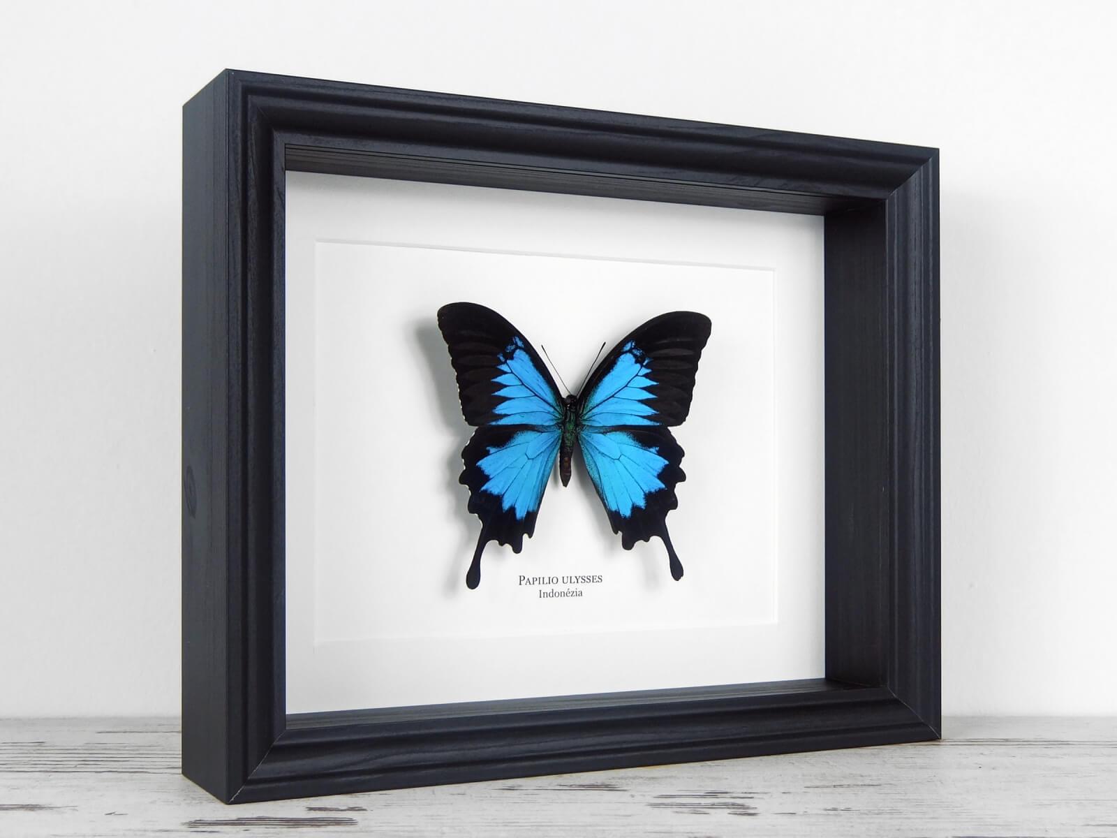 Papilio ulysses, fekete keretben   #2131