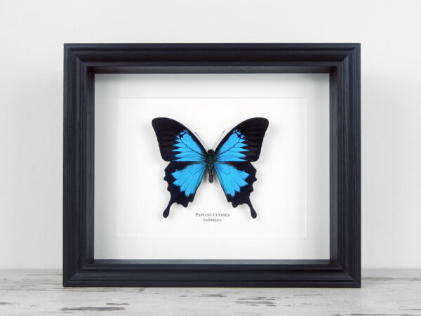 Papilio ulysses, fekete keretben | #2132
