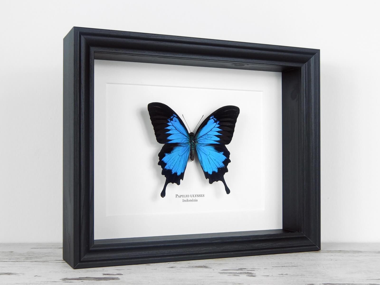 Papilio ulysses, fekete keretben | #2134