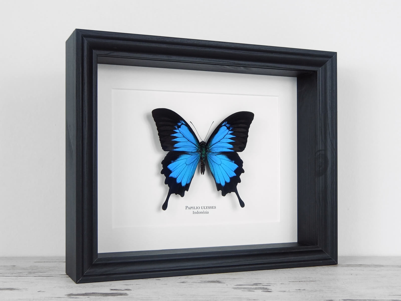 Papilio ulysses, fekete keretben   #2135