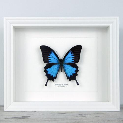 Papilio ulysses, fehér keretben | #2294