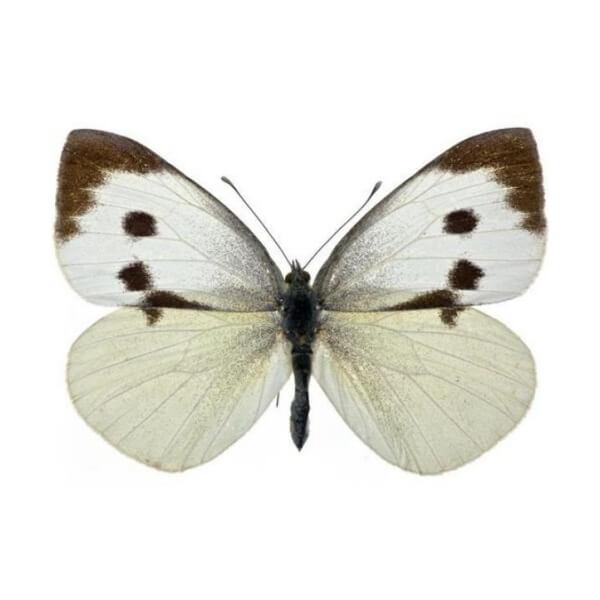 Pieris brassicae - Káposztalepke